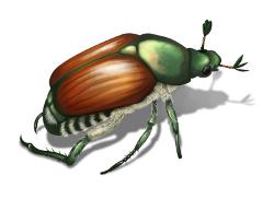 japanese-beetle_250x182
