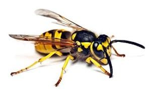 hornet-md