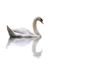 swan-white-background