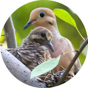 img_15875_nesting_mourning_doves_round_crop_1_websize