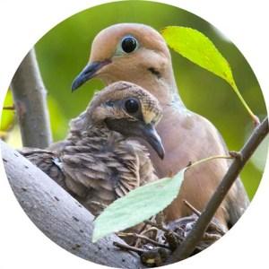 img_15875_nesting_mourning_doves_round_crop_1_websize