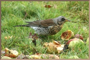 20090116_dc1_20090102_1249_081-fieldfare-in-windfall-applesrmb-id576